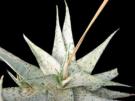 Image of Aloe 'White Stag'