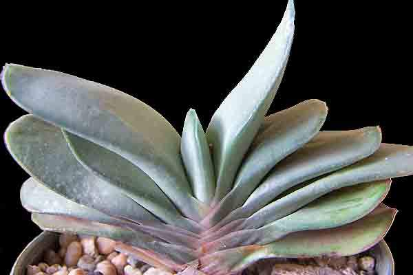 Image of Gasteria 'Frosty'