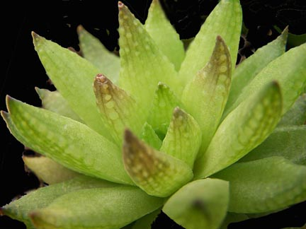 Image of Haworthia reticulata var. subregularis