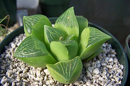 Image of Haworthia retusa