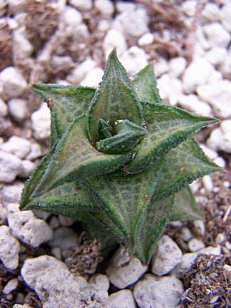 Image of Haworthia tesselata GM 524