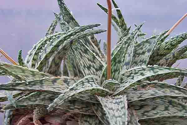 Image of Aloe 'Doran Black'