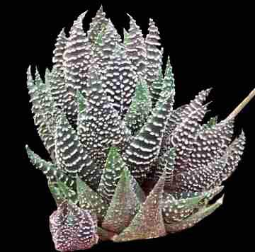 Image of Haworthia 'baccata'