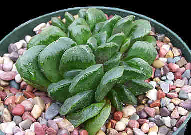 Image of Haworthia 'Sizunami'
