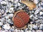 Lithops growing 06