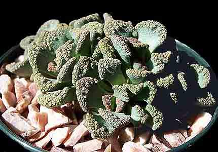 Image of Titanopsis calcarea