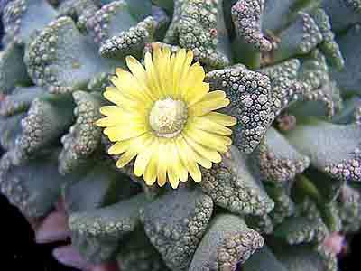 Image of Titanopsis calcarea flower